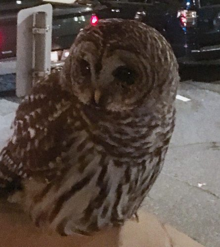 An owl at the beginning of the evening auspicious owlhellip