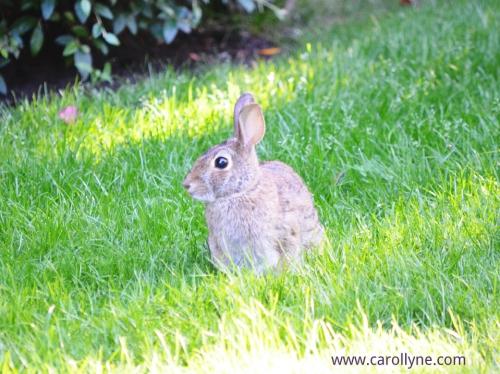 Bunny in the garden, photo by Carollyne Yardley, July 2013