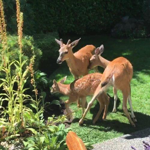 deer troica yyj carollyne canadianartist carollyneyardley arttoronto
