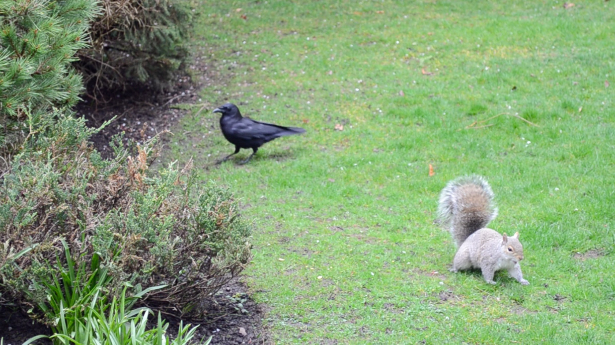 Squirrel and Crow circle the garden