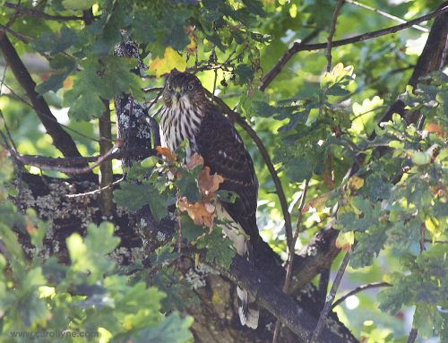 Cooper Hawk sighting makes for a quiet garden