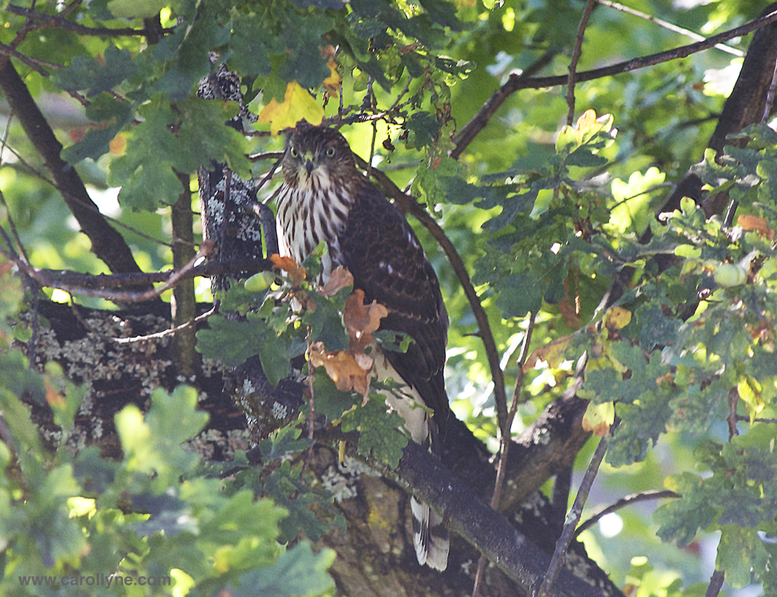 Coopers Hawk, Aug 25, 2014