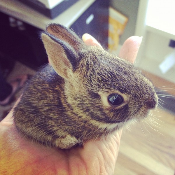 Baby bunny in the neighbours yard. May, 2015.