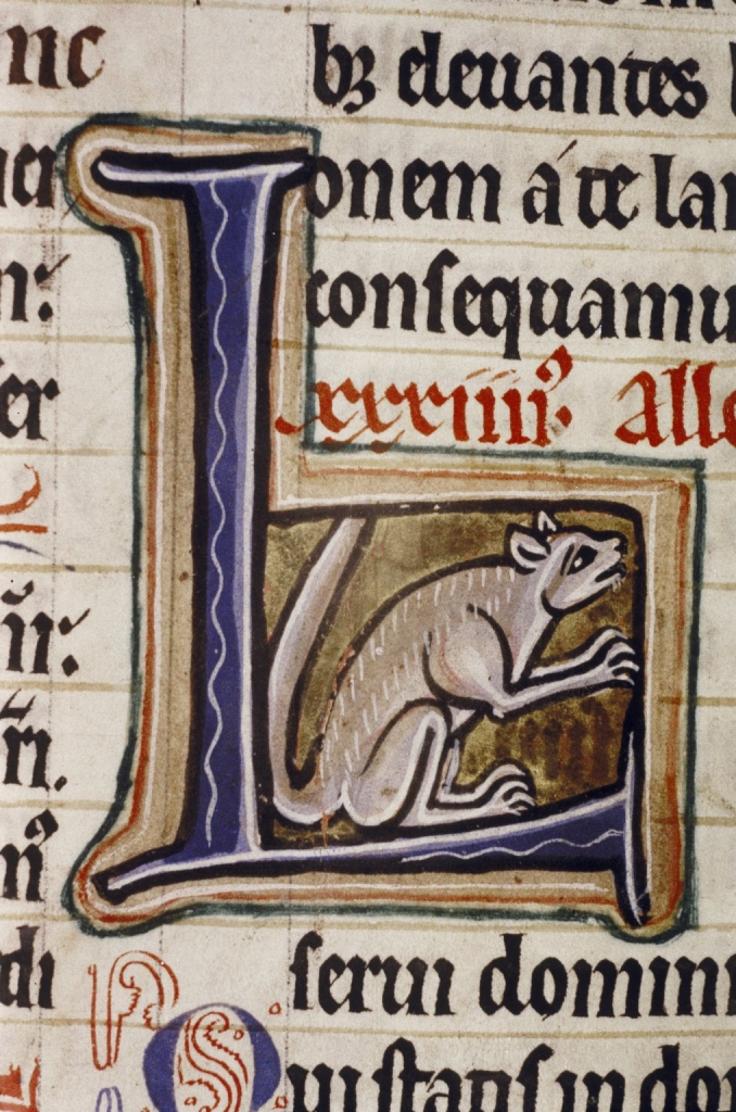A grey squirrel in an initial letter L, psalter (Ashmole 1525, fol. 114v), c. 1210-1220