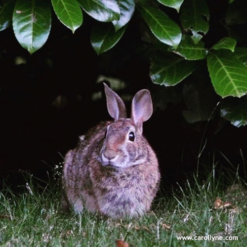 Love the rabbit in our garden so much. #urbananimals #urban #animal #bunny #rabbit #hare #wild #garden #carollyne #carollyneyardley #yyj July 2016.