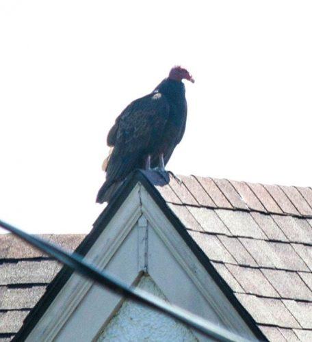 Turkey Vulture on roof next door.  December 2015
