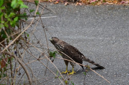 Cooper's hawk (Accipiter cooperii) coming to get the little birdies.  Aug 26, 2012