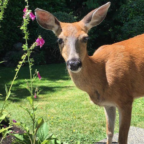 So many gentle souls in the garden today June 29, 2017  #deer #yyj #inspiration