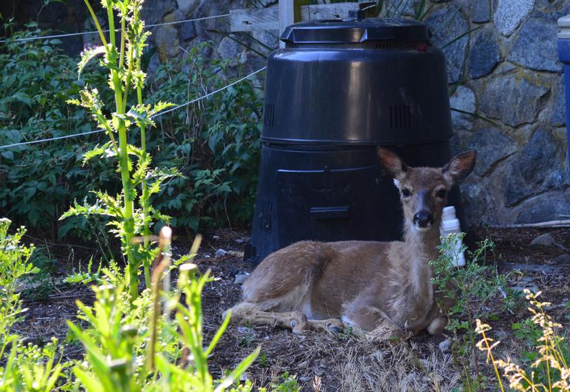 Deer in neighbouring yard.