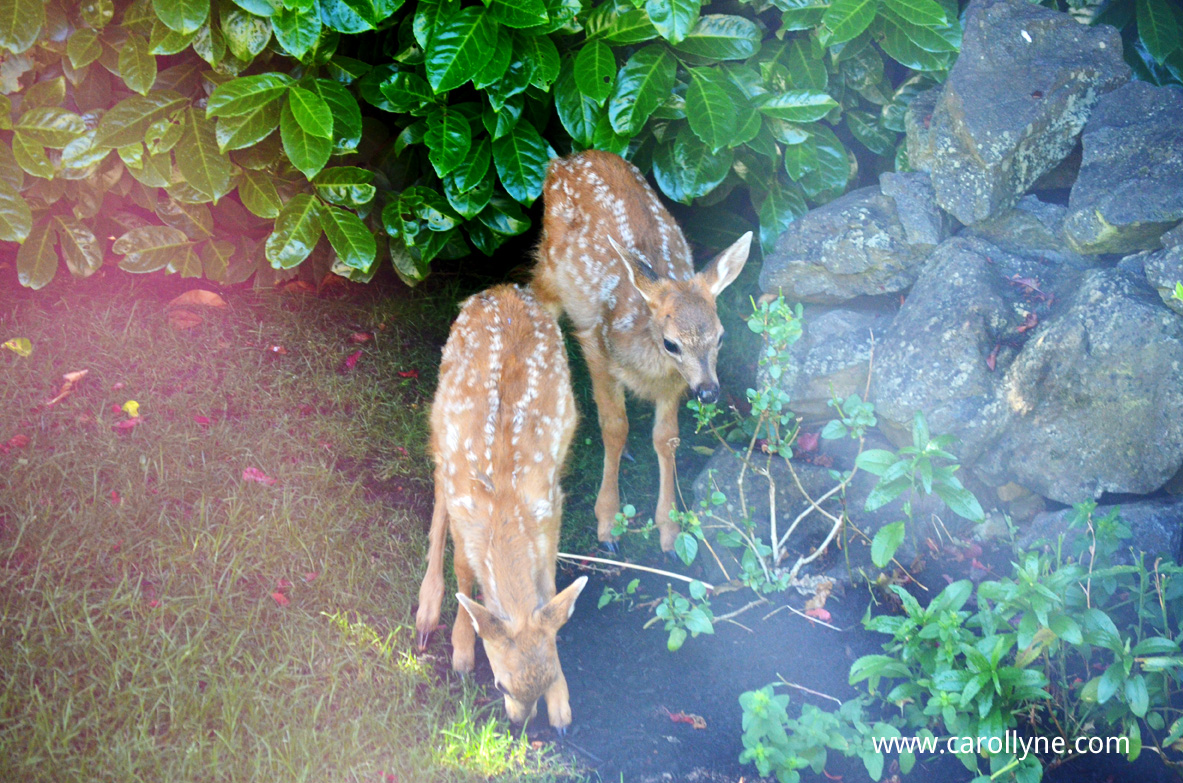 Fawns in the yard. Photo by Carollyne Yardley July 27, 2013