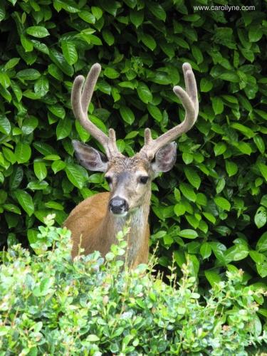 Deer in garden, November 6, 2015