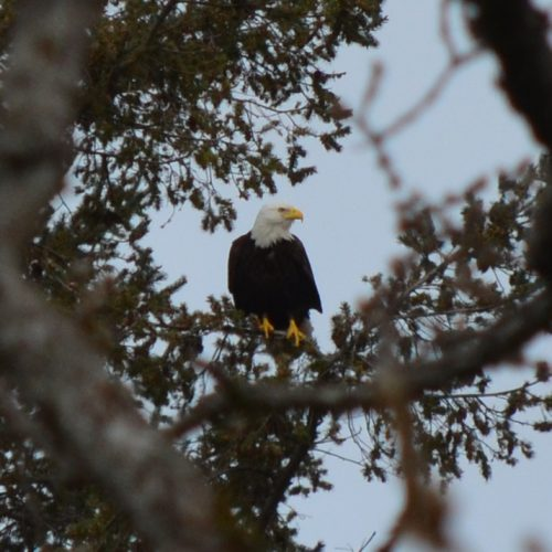 Eagle in the neighbours yard! March 29, 2018