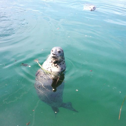 Harbour seal at Oak Bay Marina. More of the neighbours.  April 19, 2016