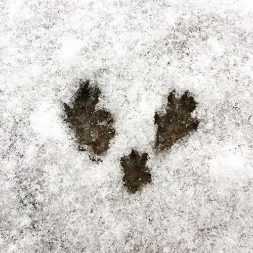 Footprints by Rattus norvegicus. Feb 8, 2017