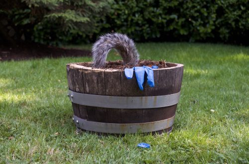 """Remnants 1, from Pandemic Sculpture Garden, 2020 Potting soil, oak planter (formerly a sherry barrel with metal hoops ), used nitrile examination gloves, squirrel tail, human hair, 15″ x15″ x9"""""""