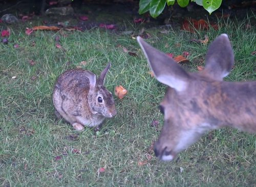 Cottontail rabbit surprised by young make Black-tailed deer.