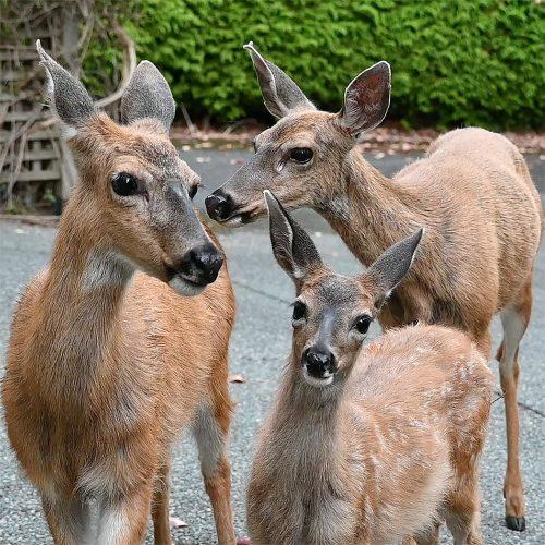 Portrait of three Mouwich (deer in Lək̓ʷəŋən) whose territory includes my home. July 2020.